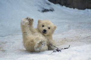 kleine-ijsbeer