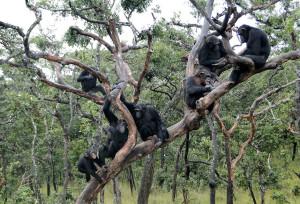 apen chimfunchi